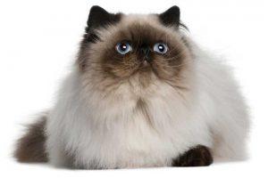 معلومات عن قطط الهملايا
