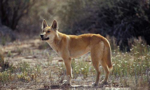 كلب الدنجو الأسترالي