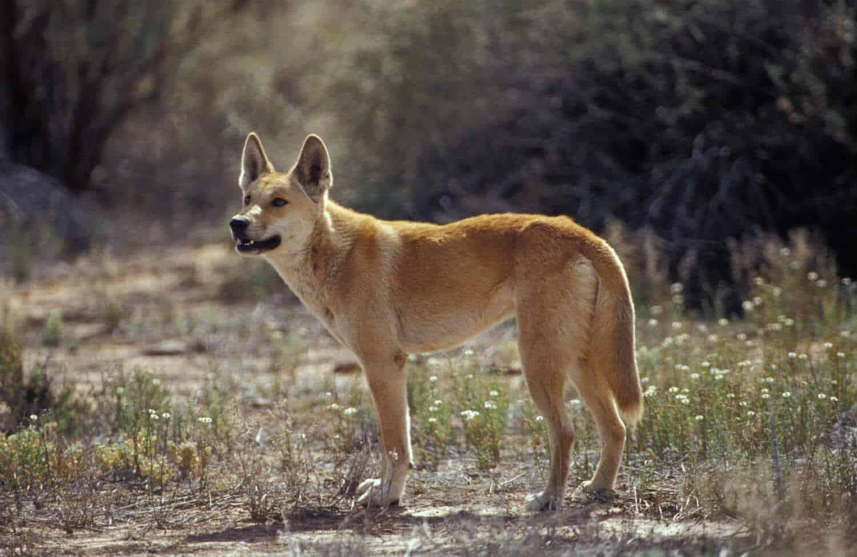 كلب الدنجو