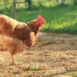 معلومات عن الدجاج
