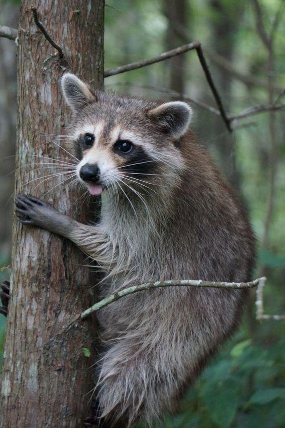 حيوان الراكون في الغابة على شجرة