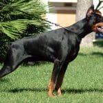 معلومات عن كلاب الروت وايلر