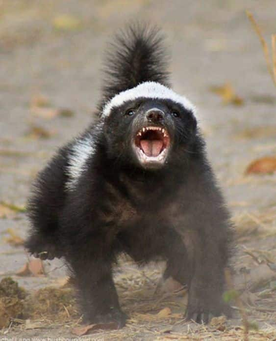 حيوان الغرير يستعد للهجوم