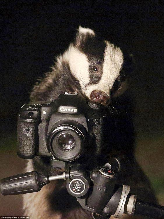 حيوان غرير يتسلق كاميرا