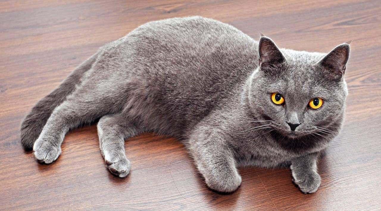 أغلى أنواع القطط