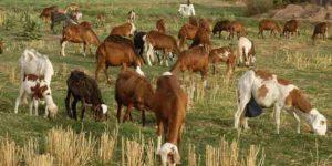 أهمية الثروة الحيوانية