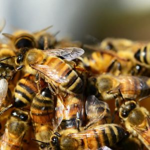 أنواع النحل حول العالم