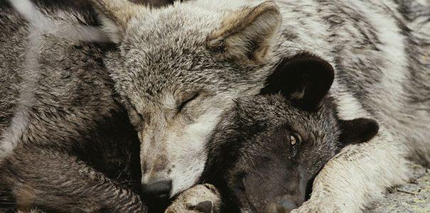 """كيف تنام الحيوانات ظƒظٹظپ-طھظ†ط§ظ…-ط§ظ""""طظٹظˆط§ظ†ط§طھ-605x300.jpg"""
