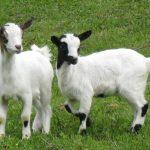 التكاثر اللاجنسي في الحيوانات