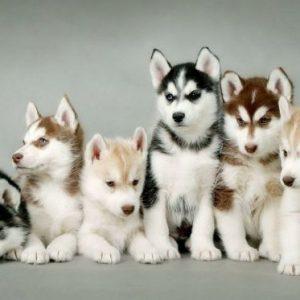 معلومات عن كلاب الهاسكي