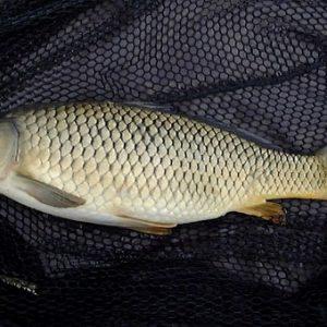 معلومات عن سمكة الشبوط