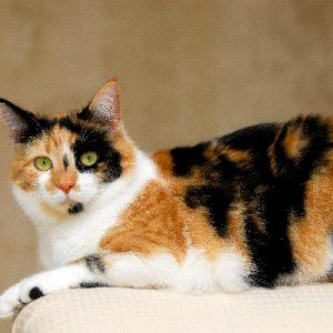 معلومات عن قطط الكاليكو
