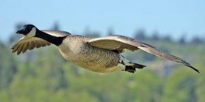 معلومات عن طائر الأوز