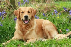 معلومات عن كلاب الجولدن