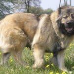 معلومات عن كلاب الكوكيجن