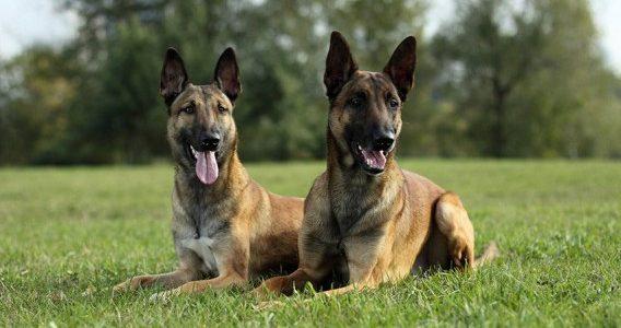 معلومات عن كلاب المالينو
