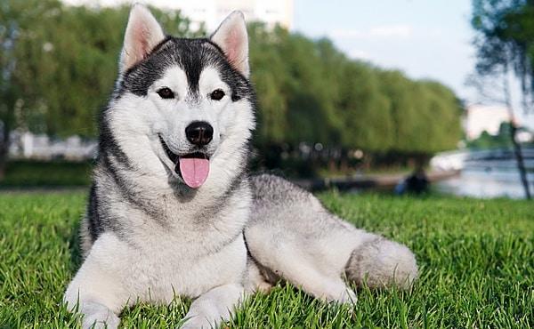 الكلب السيبيري موسكي
