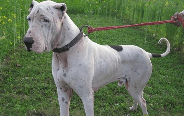 كلب Bully Kutta