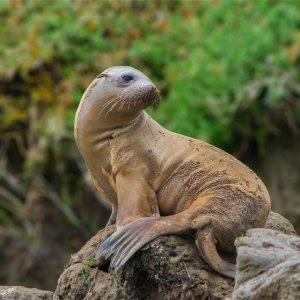 حيوان أسد البحر