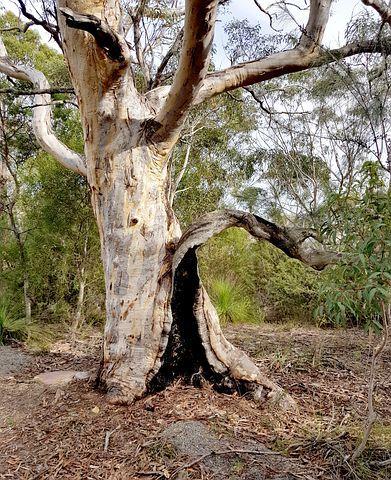 أشجار الأوكالبتوس