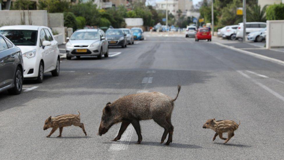الخنازير البرية في فلسطين المحتلة
