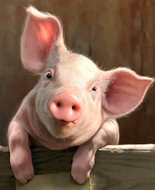 الخنزير الداجن