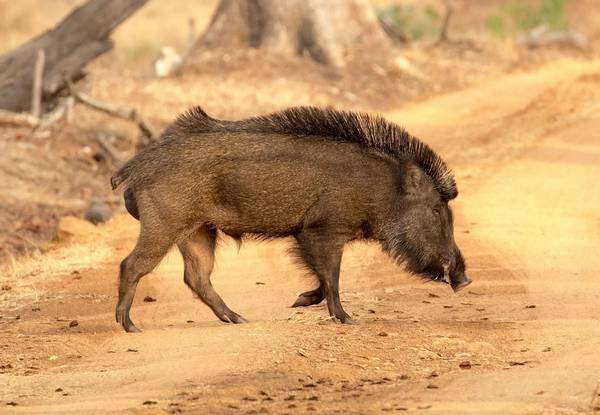 الخنزير الهندي