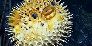 السمكة الشيهم