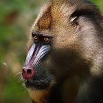 القرد ميمون