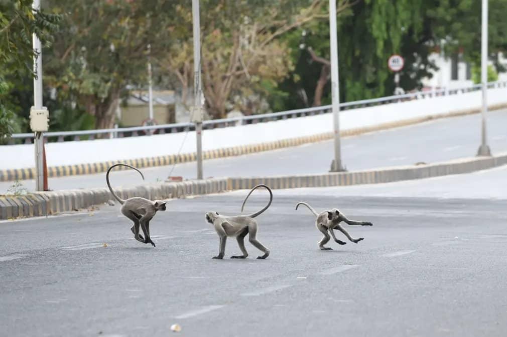 القرود تلعب في الشوارع الفارغة