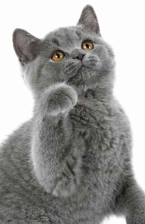 القطط البريطانية