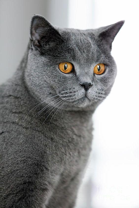 القط بريطاني قصير الشعر
