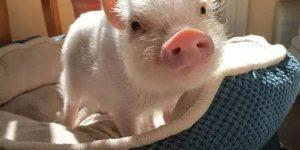 حيوان الخنزير الداجن