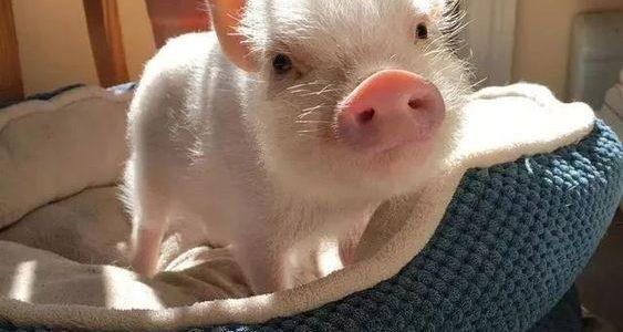 معلومات عن الخنزير الداجن