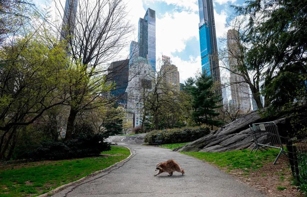 حيوان الراكون يتجول في المدينة
