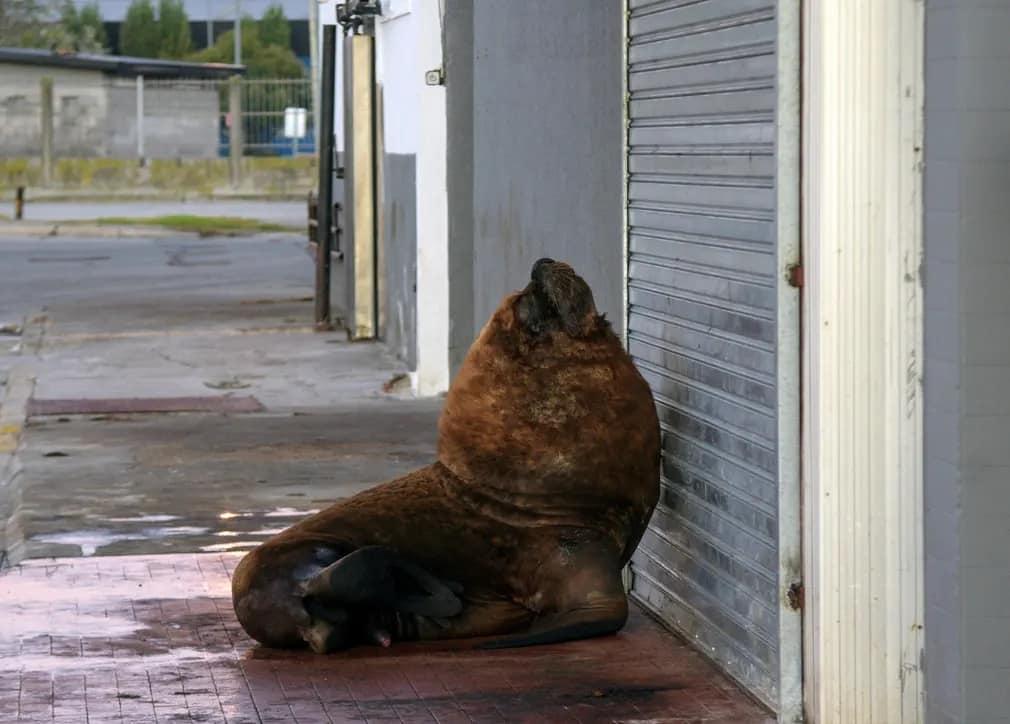 حيوان الفقمة أمام دكان