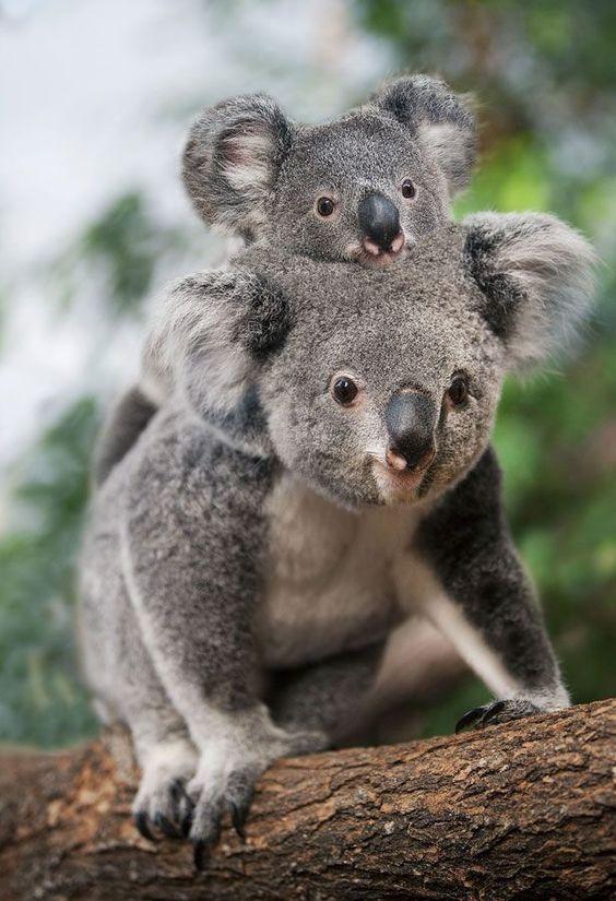 حيوان الكوالا مع صغيره