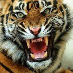 حيوان النمر المفترس