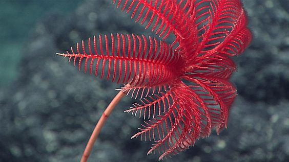 حيوان زنبق البحر