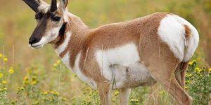 حيوان ظبي البرونغورن