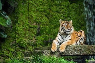حيوان نمر البنغال