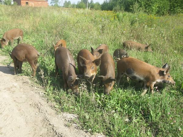 خنزير محلي هجين