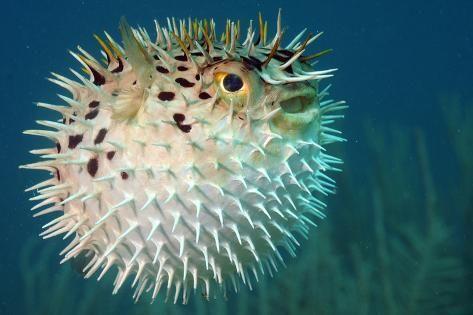 سمكة الدلدل