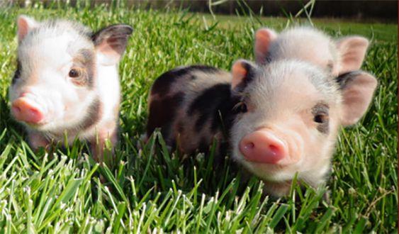 صغار حيوان الخنزير