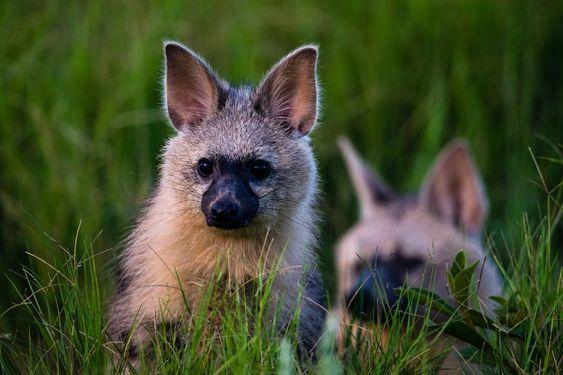صغير ذئب الأرض