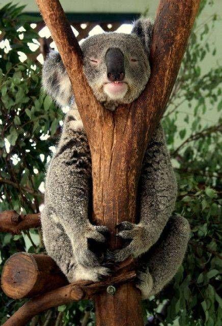 صور الكوالا