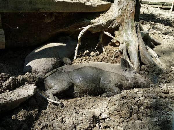 فوائد و مضار الخنازير