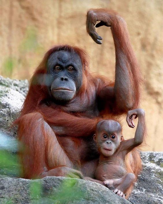 قرد انسان الغابة مع طفله