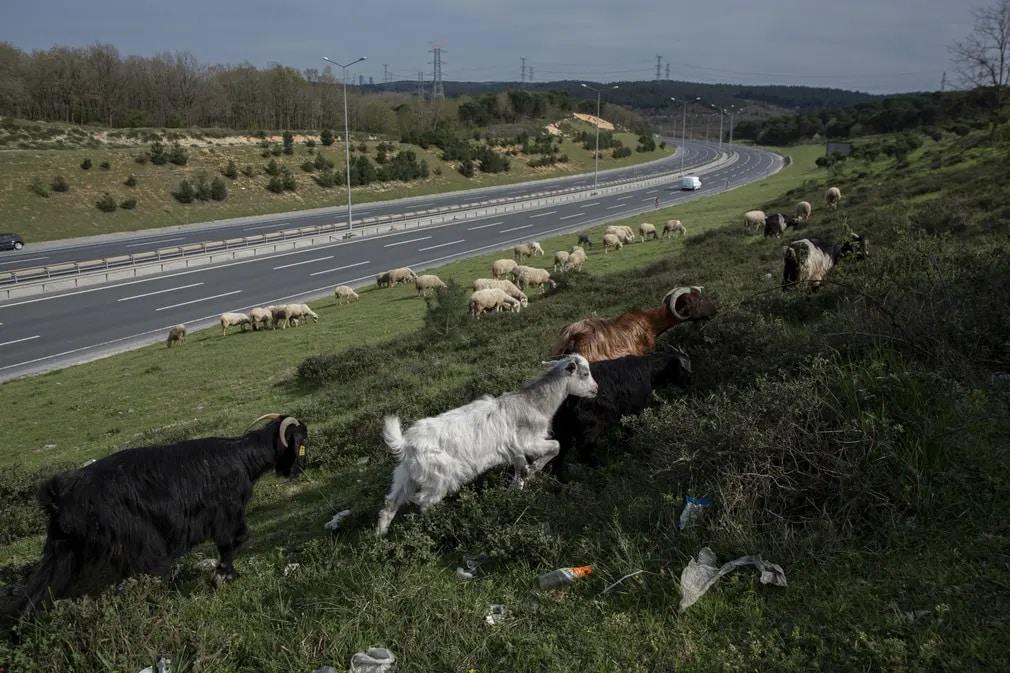 قطيع الماعز على الاوسترادات