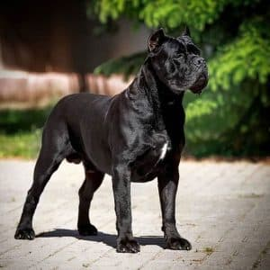 معلومات عن كلاب كين كورسو